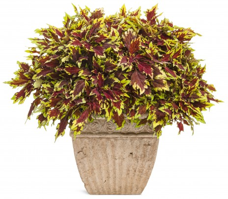 New…on the coleus front…
