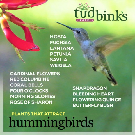 Attract more hummingbirds with these plants