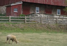 Sheep and Farm