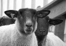 Sheep and Farm
